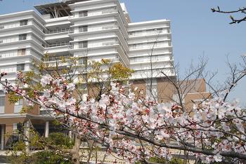 病院の桜の木もほぼ満開でした。